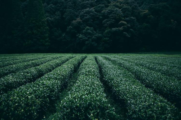 plantation-945400_1920
